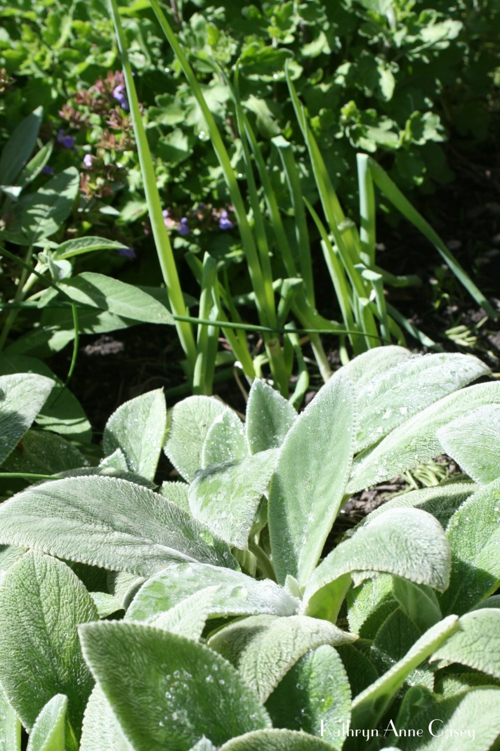 detail of suburban herb garden, lamb's ears and onions