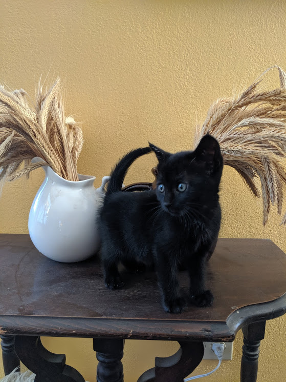 Small black kitten on a table with wheat in pitchers just in time for Halloween