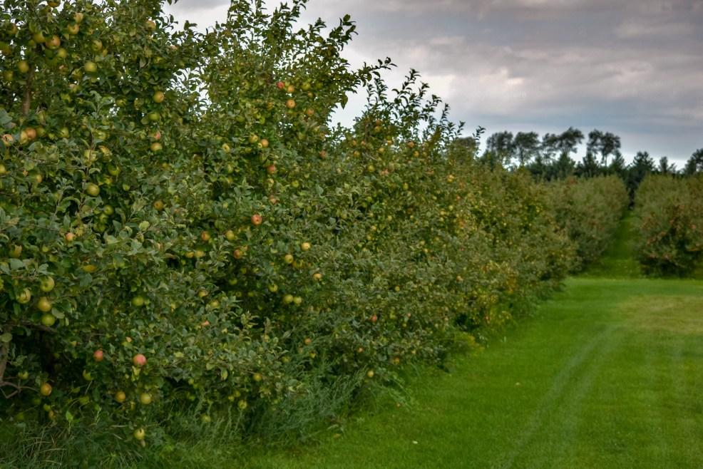 lots of apple trees