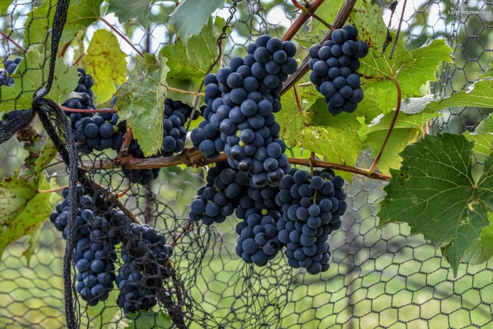Bonnieheath wine grapes