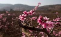 In early spring, fields just outside town are filled with peach and pear blossoms.