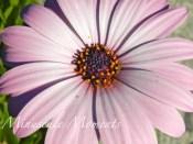 daisy2 (copy)