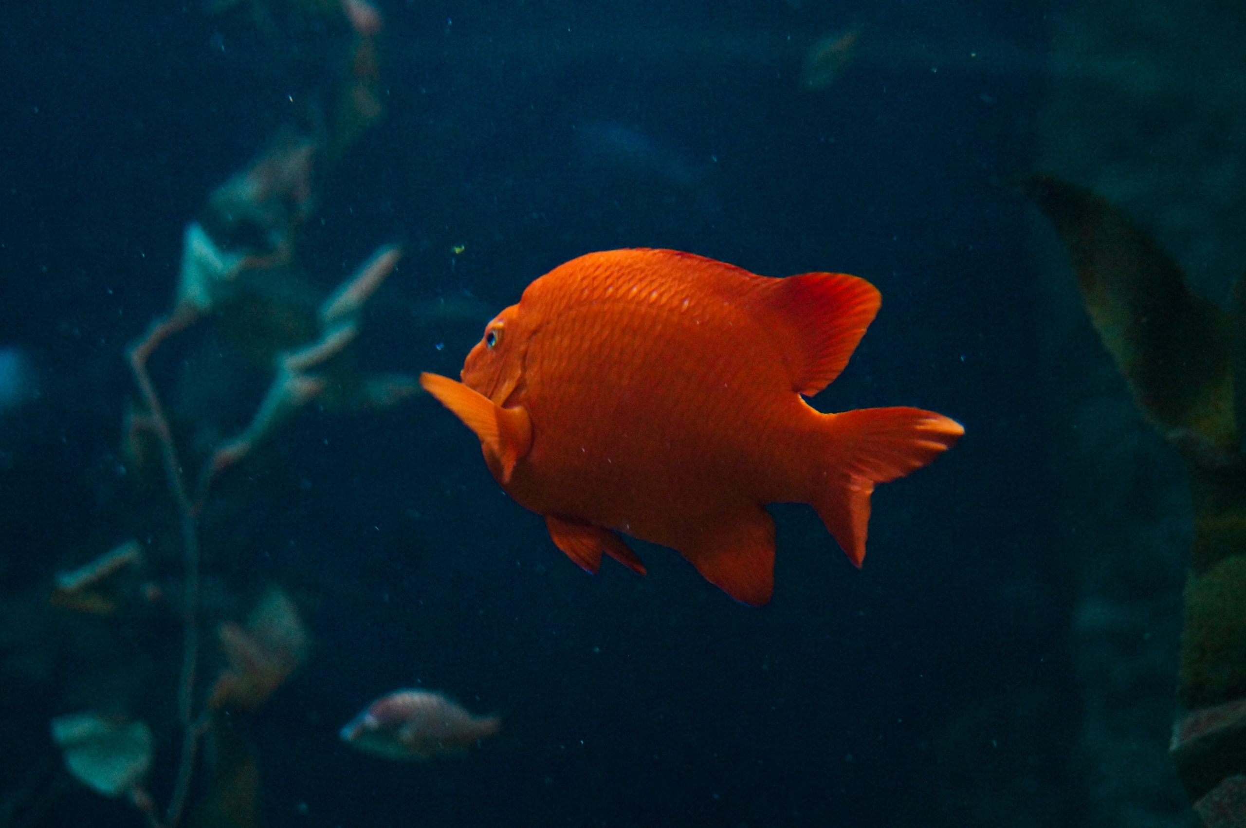 One Lonely Gold Fish vivid red stares at glass