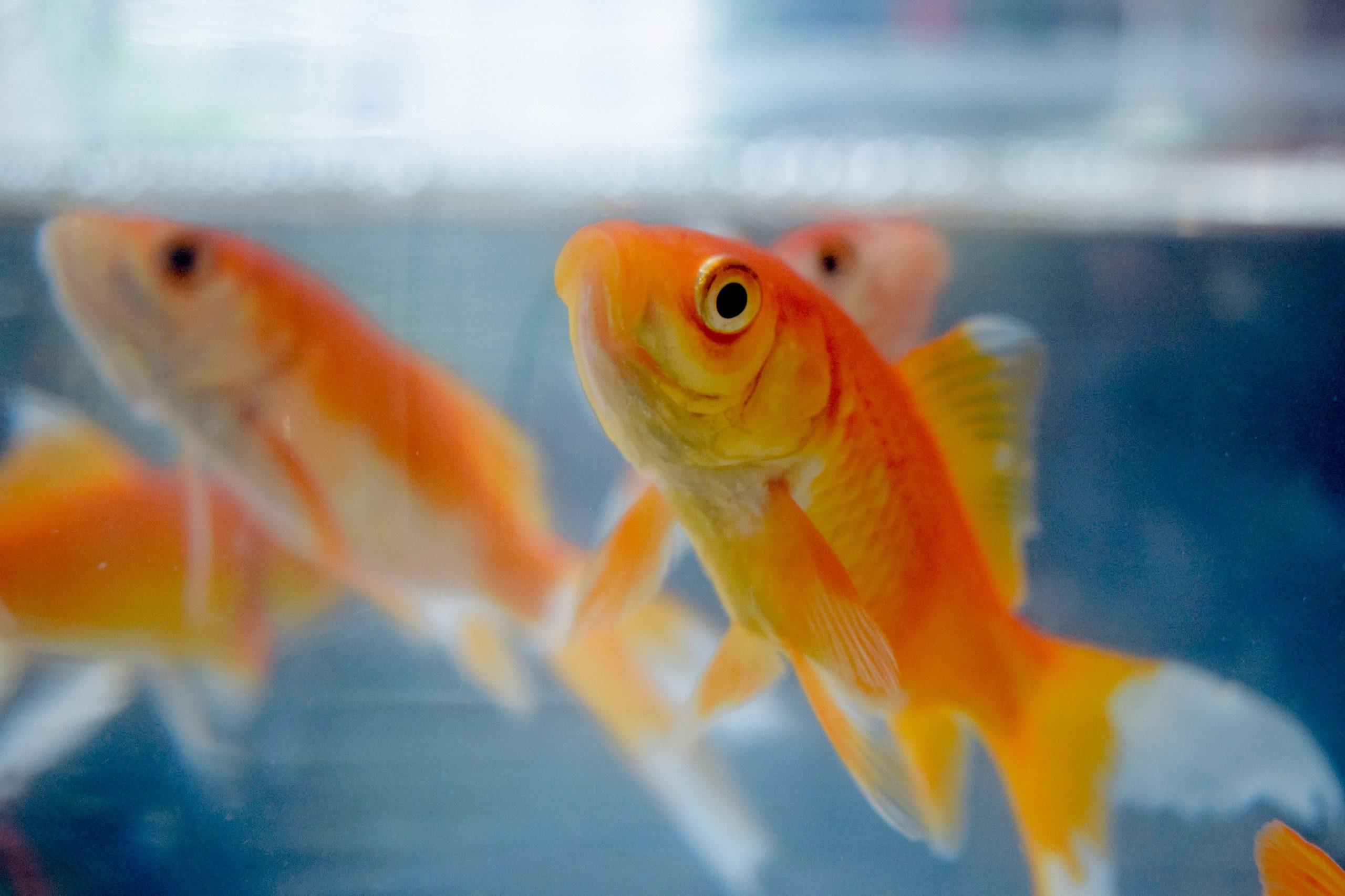 Goldfish reflection on glass