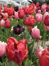 Birmingham Botanical Gardens - Tulips