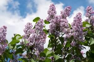 Lilacs flower on a bush 006 - Lilacs-flower-on-a-bush-006