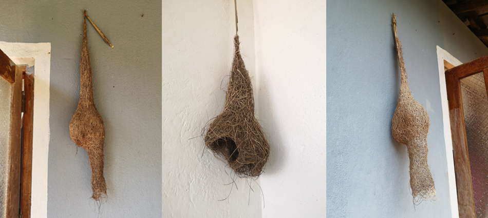 SMweaverbirdnests
