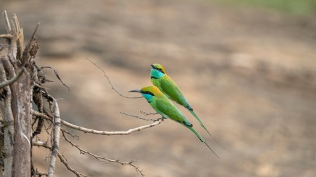 bee-eaters1small
