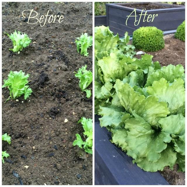 a lettuces