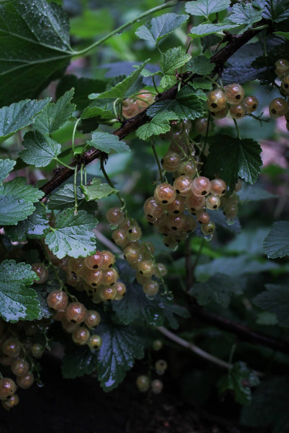 Pink Champagne Currants