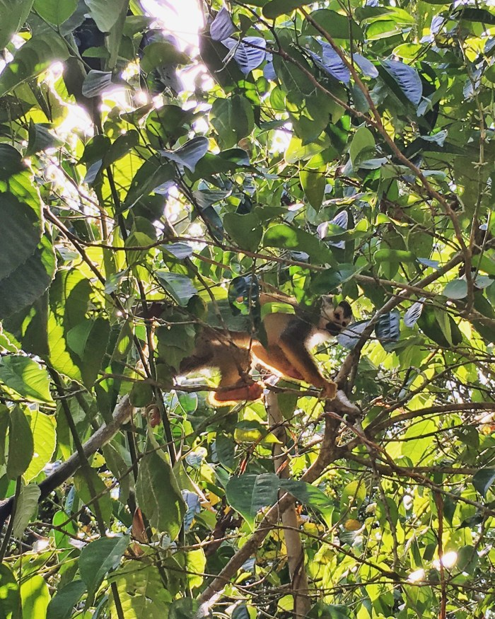 Squirrel Monkey, Manuel Antonio {Katie at the Kitchen Door}