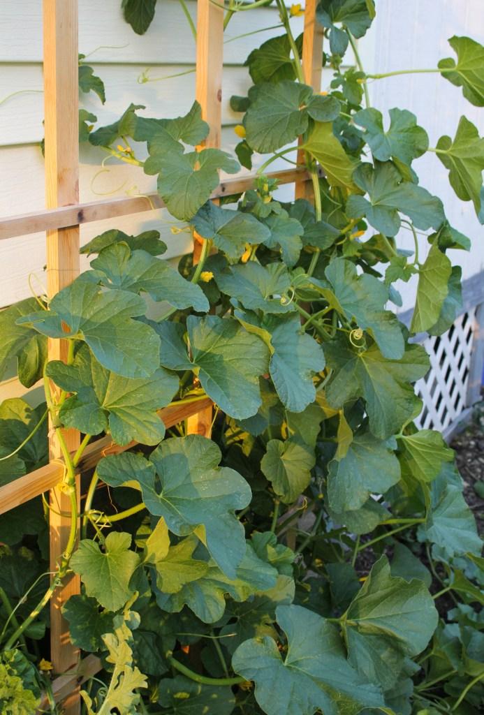 Melon Vines {Katie at the Kitchen Door}
