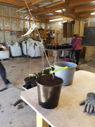 Potting up bare rooted trees