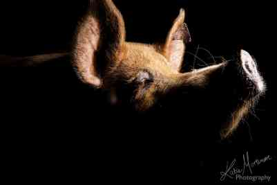 pig photographer wiltshire hampshire black background studio lit