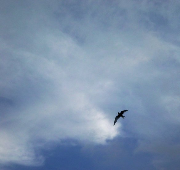 Photograph of bird flying against a backdrop of a blue sky with a haze of clouds. The bird is in shadow.