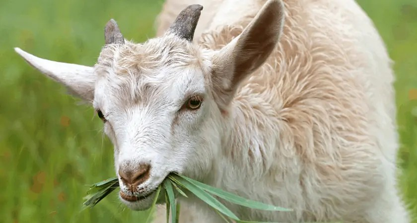 Baby Goat Care Timeline | First Food