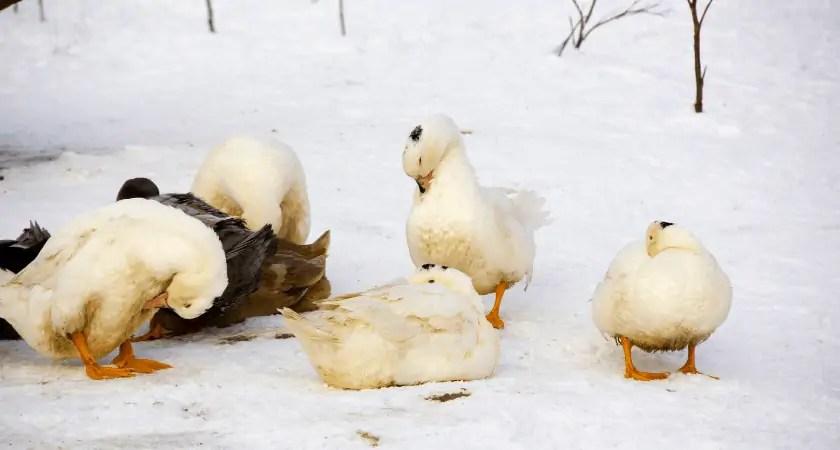 Raising Duck in the Winter