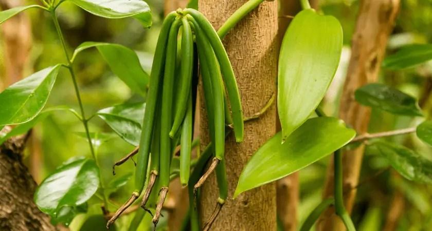 Vanilla Beans on the Vine