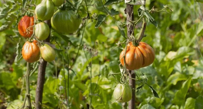 Growing Heirloom Vegetables | Tomato Vines