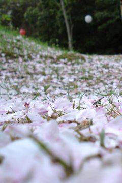 Sakura: Die Blütenblätter der japanischen Somei-yoshino Kirsche sind sehr empfindlich und blühen nur kurz. Ein Regenschauer oder Wind und die ganze Pracht liegt auf dem Boden.