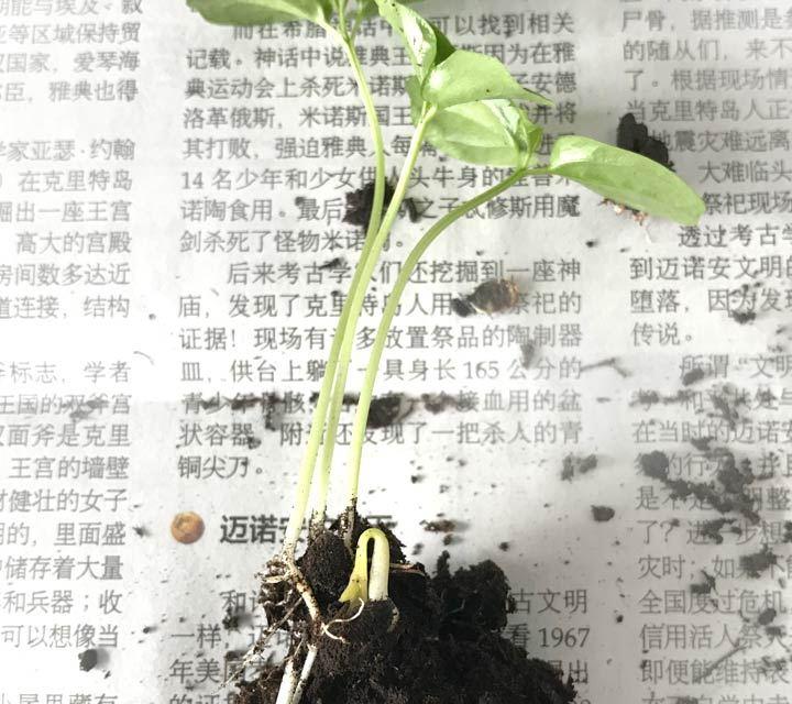 Origami für kleine Pflanztöpfchen DIY - die zarten Passionsfrucht-Keimlinge werden vereinzelt.