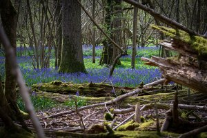 bluebell woods sussex photographer