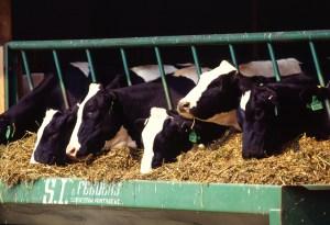 Holstein_dairy_cows