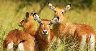 Budget Uganda Safari budget uganda safari - Queen Elizabeth National Park katona tours - Budget Uganda Safari Queen Elizabeth-Kibale-Murchision falls 6 Days