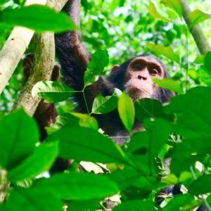 Chimpanzee Tour