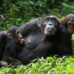 Chimpanzee Tour Ngamba Island