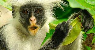 Uganda Primate Safari Bwindi Forest