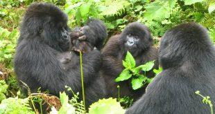 budget gorilla trekking rwanda - budget gorilla trek Rwanda by katona tours - Budget Gorilla Trekking Rwanda at 850USD
