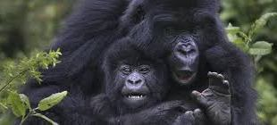 Rwanda Gorilla Tracking rwanda gorilla tracking - gorilla tracking in Rwanda - Rwanda Gorilla Tracking Safari 3 Days
