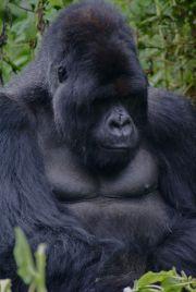 1 Day Gorilla Trekking in Congo