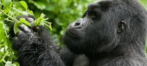 One Day Gorilla Trekking Rwanda one day gorilla trekking rwanda - volcanoes gorilla trek katona tours 300x134 - One Day Gorilla Trekking Rwanda