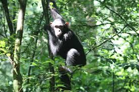 chimpanzee=tracking-in-budogo-forest