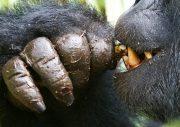 Gorilla Trekking and Gorilla Tracking