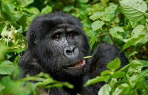 3 Days Gorilla Trekking on Christmas Day  3 days gorilla trekking on christmas day - gorillas in bwindi forest by katona tours 300x192 - 3 Days Gorilla Trekking on Christmas Day offer Bwindi Forest Uganda