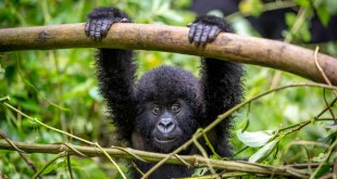Mountain Gorillas mountain gorillas - cheap gorilla trekking by katona tours - Life About Mountain Gorillas