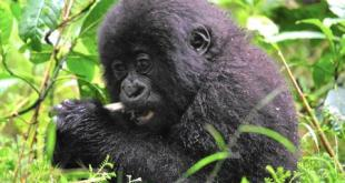 Rwanda Gorilla Trekking rwanda gorilla trekking - cheap gorilla tour by katona tours - Rwanda Gorilla Trekking