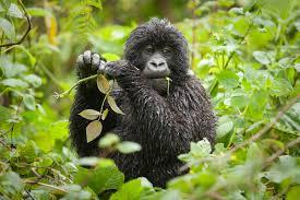 Rwanda Gorilla Trekking Rwanda Gorilla Trekking - gorillas in volcanoes park by katona tours - Rwanda Gorilla Trekking