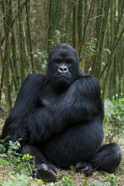 Mubare Gorilla Family in Buhoma Gorilla Group