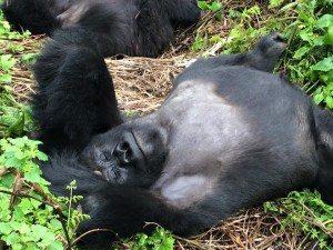 Buy Gorilla Permits