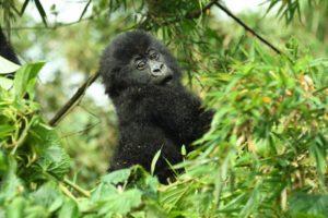 Best Country to Trek Gorillas