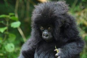 Bitukura Gorilla Group