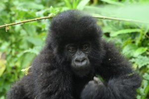 Gorilla Trekking and Batwa Trail in Mgahinga Park