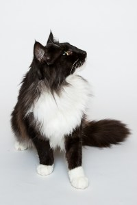 Darwen, Lancashire - A black and white Norweigan Forest cat sitting and looking to the side against a white background