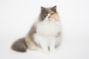 Darwen, Lancashire - A tri-coloured Selkirk Rex sits with her tail wrapped around her looking forward against a white background