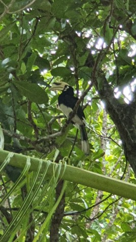 ein Hornvogel in Thailand