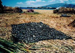 Fish drying for later consumption.